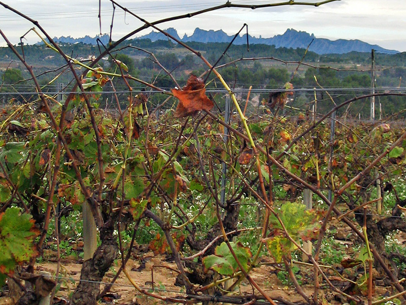 Autumnal vinyard with Montserrat on the horizon. Codorníu uses about 6,000 hectares of vineyard. Its own vineyards cover 30% of its production and the remaining 70% is bought from several hundred growers in the Penedés region