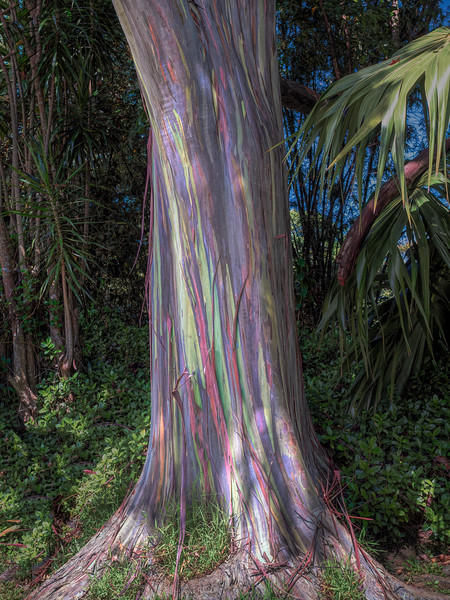 Raindow Eucalyptus