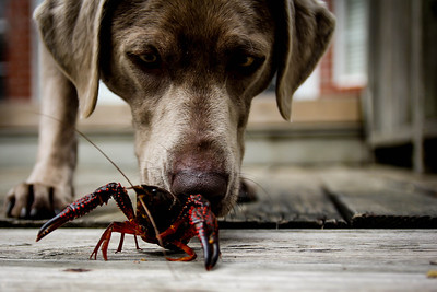 Crawfish Dog