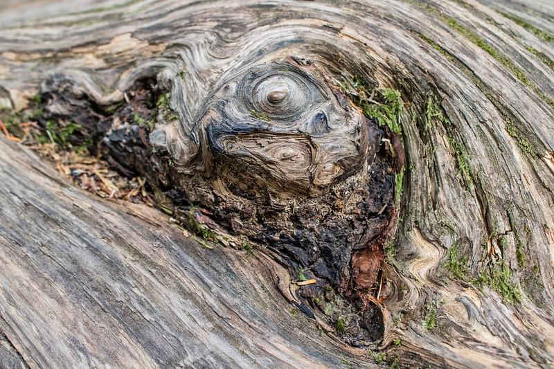 Barkscape: Spruce, Grove of Patriarchs | Mt. Rainier National Park