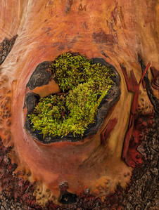 Barkscape: Madrone | Olympic National Park