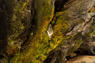 Barkscape: Winter's Tooth, Mariposa Sequoia Grove | Yosemite National Park