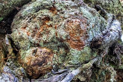 Barkscape: Spruce Tree, Grove of the Patriarchs | Mt. Rainier National Park
