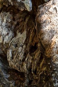 Barkscape: Spruce Burl, Spruce Burl Forest | Olympic National Park