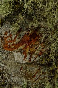 Barkscape: Red Alder (Alnus rubra) | Grays Harbor National Wildlife Refuge