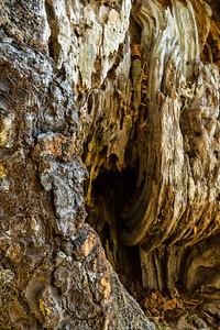 Barkscape: Spruce Burl | Olympic National Park