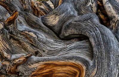 Barkscape: Bristlecone Pine | Great Basin National Park