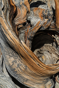 Barkscape: Bristlecone Pine | Inyo National Forest