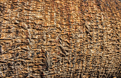 Barkscape: Palm Tree, 49 Palms Oasis | Joshua Tree National Park