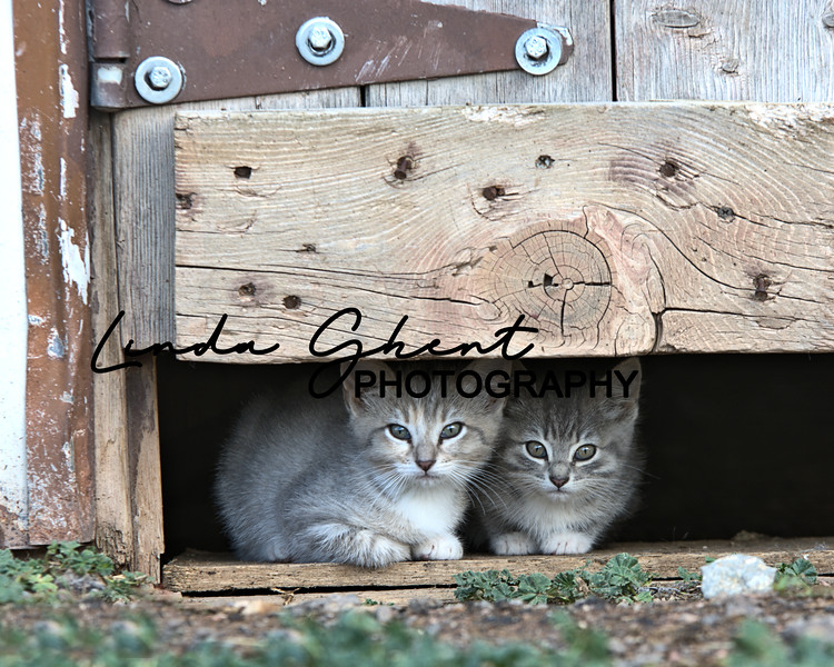 Peeking Barn Cats