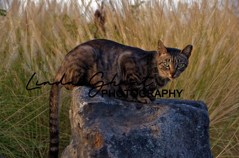 Hawaiian Wild Cat #3