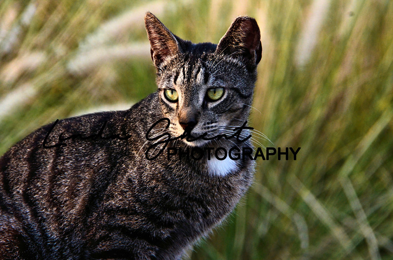 Hawaiian Wild Cat