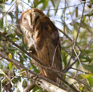 Barn Owl  Batiquitos Lagoon 2012 10 12 (1 of 2).CR2