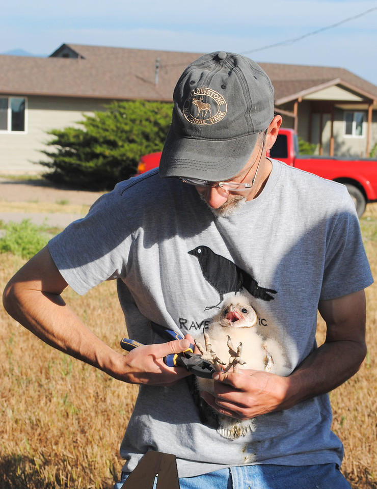 Scott Rashid places a tracking band on the leg of a four-week-old barn own that hatched in a nesting box placed at a Loveland open space. Rashid, pictured July 22, 2017 in Loveland, founded a nonprofit to study and help many different species of wild birds.