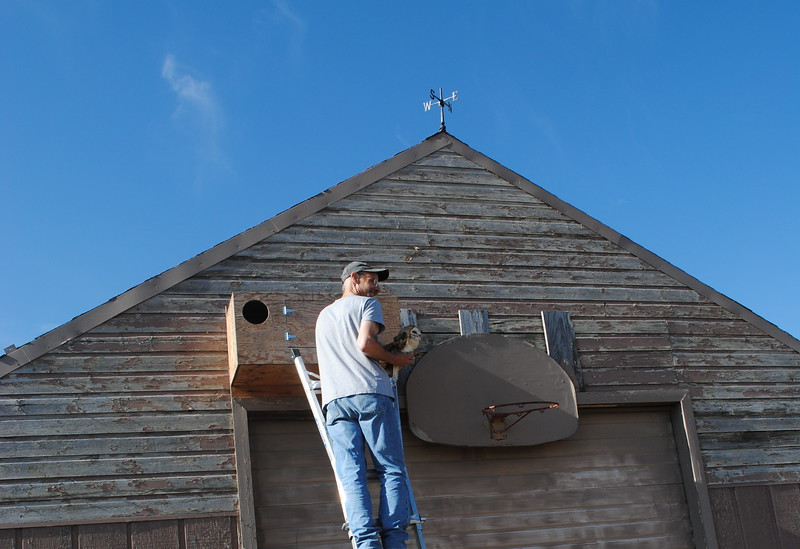 Bird researcher Scott Rashid prepares to put a female barn owl back into a nest box with her baby on Saturday, July 22, 2017 in Loveland. (Pamela Johsnon / Loveland Reporter-Herald)