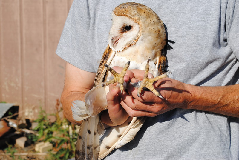 Scott Rashid, owl researcher, holds a female barn owl that he banded in June on Saturday, July 22, 2017, before he placed a band on the leg of her four-week-old owllet. The wild owls nested in one of several boxes his nonprofit, Colorado Avian Research and Rehabilitation Institute, has placed in the region, this one in Loveland. (Pamela Johnson / Loveland Reporter-Herald)