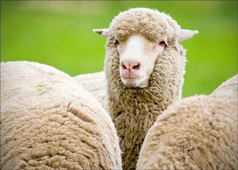 3931  We Three Sheep-Herding Series