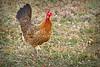 Web_Chicken_7247