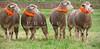 Meeker Classic Sheepdog Trials