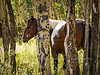Pinto horses in trees