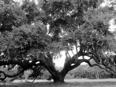 Lowcountry Majestic Live Oaks