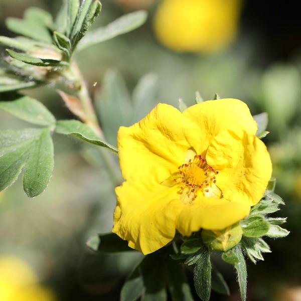 Potentilla flowers