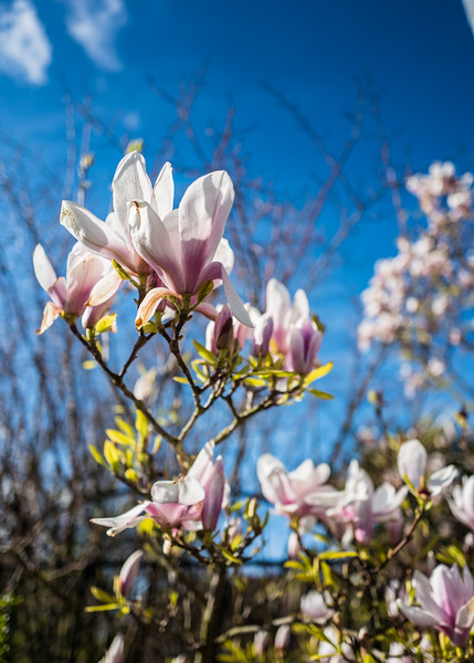 Magnolia in Jimmy's garden