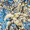 Plumb tree blossom