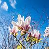 Jimmy's magnolia