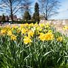 Churchyard daffodils