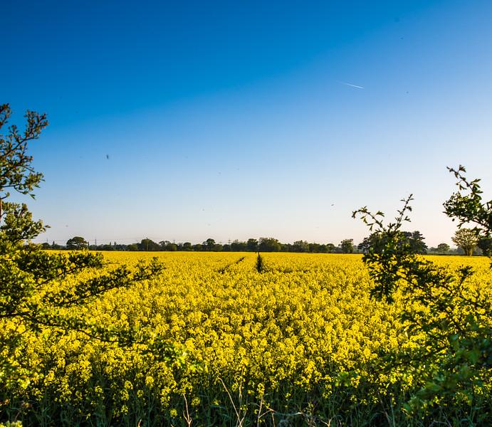 Rape seed field at Kirk Bramwith