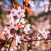 Spring blossom March 2017