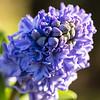 Spring hyacinth flower