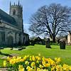 Daffodils in church yard Barnby Dun