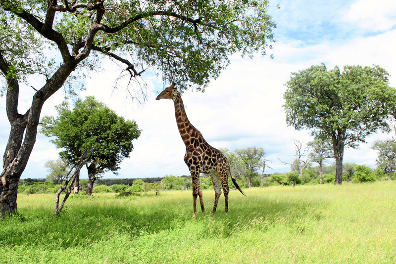 Giraffe in South Africa (c) 2011