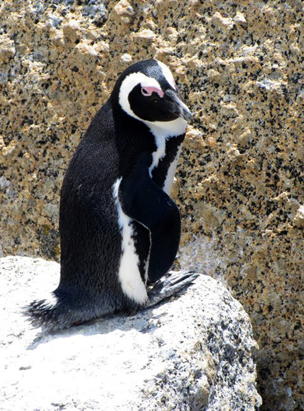 Penquin at Boulder Bay, South Africa (c) 2011