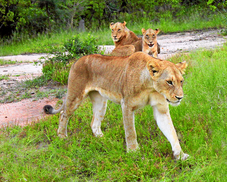 Mother lion and cubs, South Africa (c) 2011