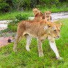 Mother lion and cubs, South Africa