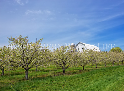 Barn and Cherry Orchard: Suttons Bay, Michigan