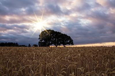 3 Oaks Sunrise Wheat Field