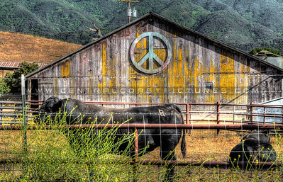 peace-barn-cow_9827