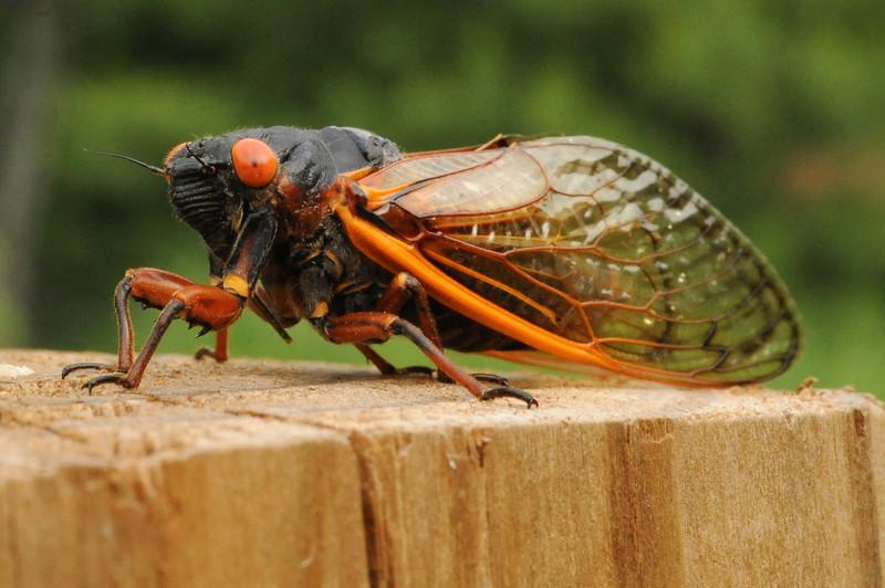 """Periodical Cicada  """"13 or 17 year"""""""
