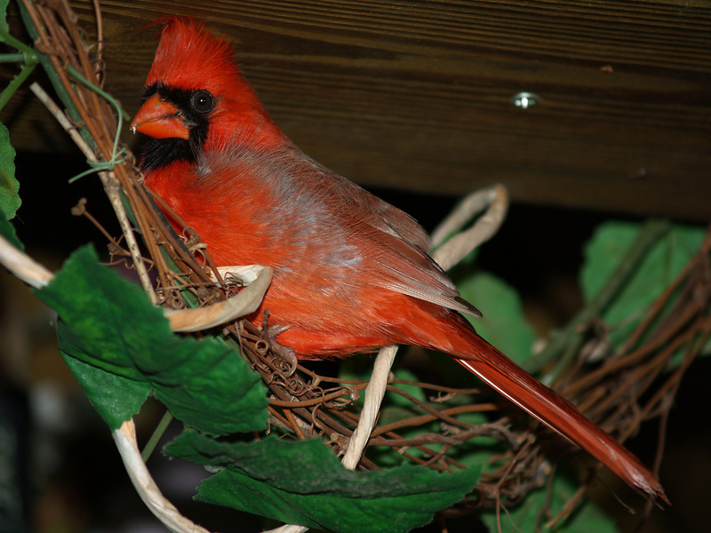 Cardinal finding a place to spend the night