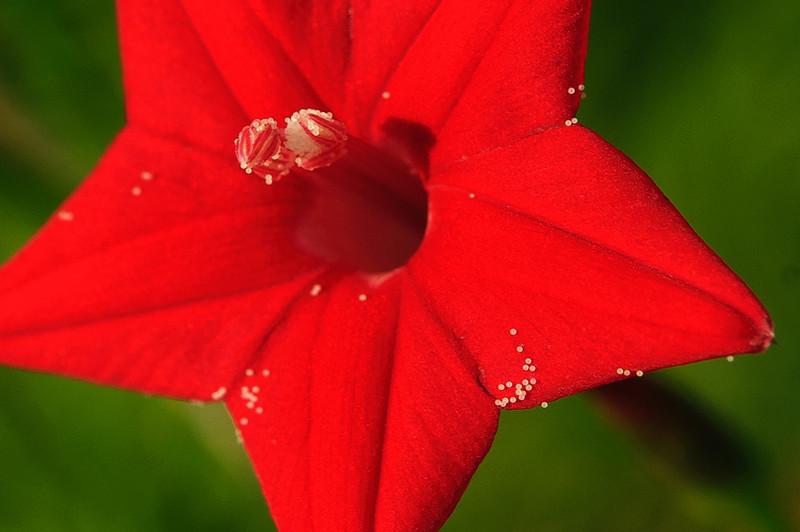 "Cypress Vine Flower  ""aprox 1/2 inch wide"""