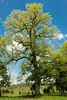 Chinkapin Oak,  aprox. 90 ft. tall