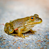 """Juvenile Frog  """"aprox 3/4 inch in length"""""""