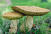 Boletus Fungus