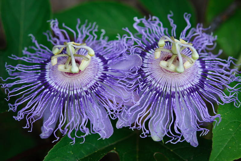 Passion Flower Twins