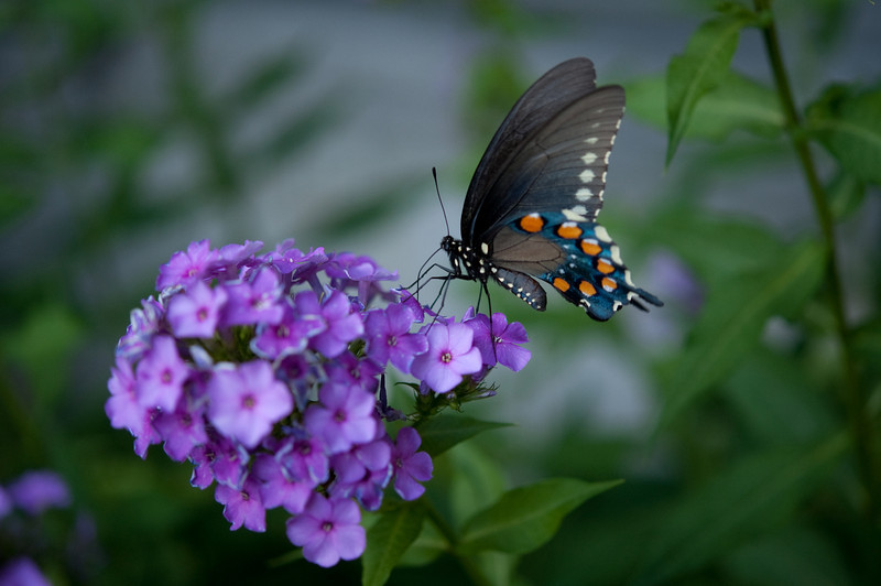 Pipevine Swollowtail Butterfly attracted to Phlox nectar