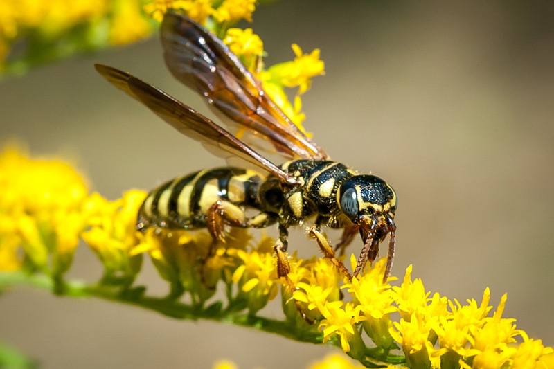 "Wasp commonly known as a ""Yellow Jacket"""